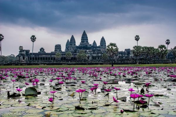 Lilies of Angkor Wat -4