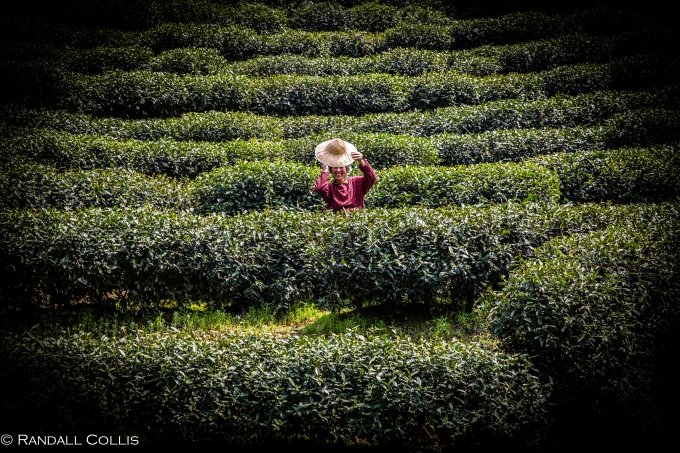 梅家坞龙井茶-14