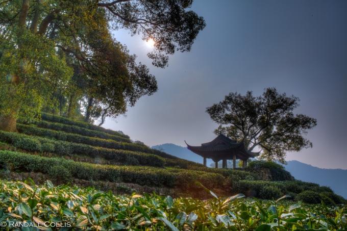 梅家坞龙井茶-3