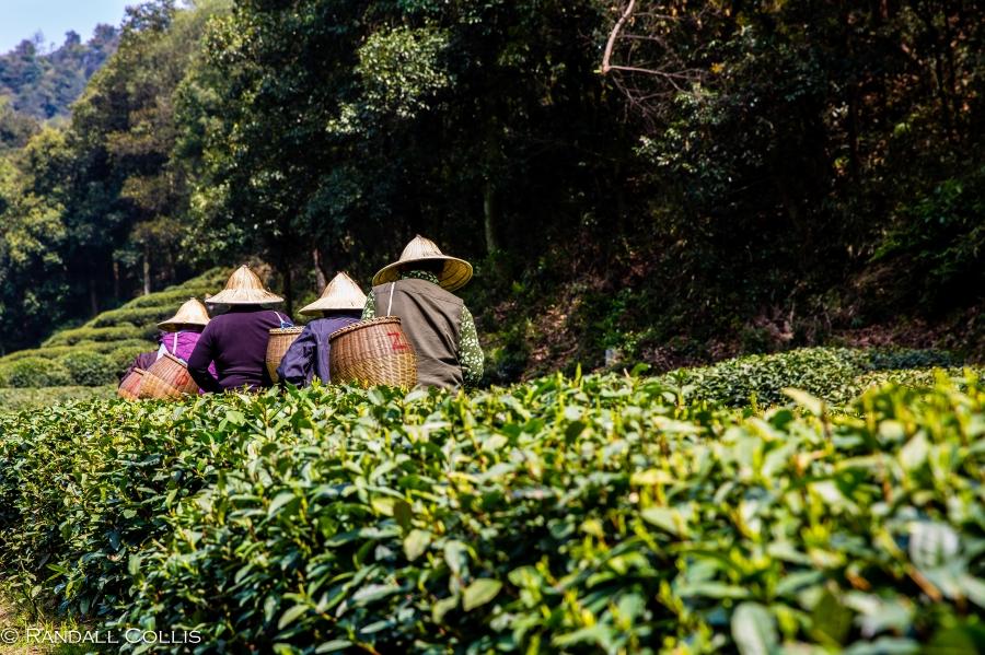梅家坞龙井茶-4