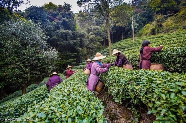 梅家坞龙井茶-7