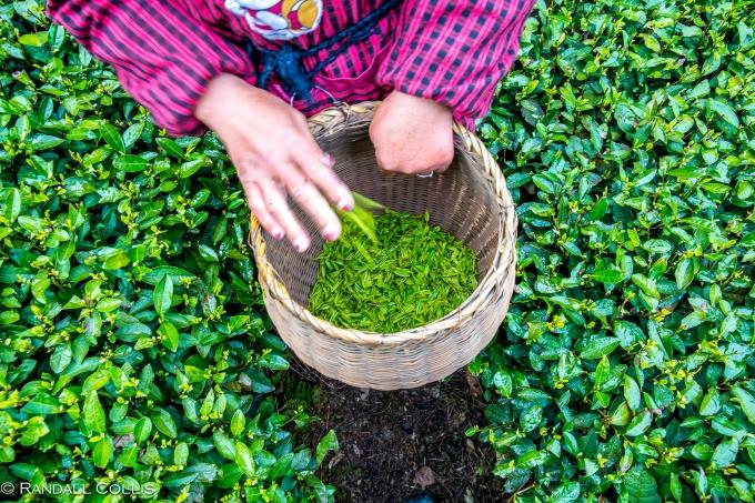 梅家坞龙井茶-8