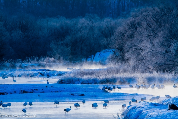 Red-Crowned Cranes at Daybreak on the Setsari River