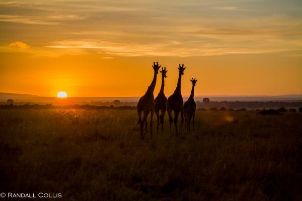 Giraffe Family in the Kenyan Morning