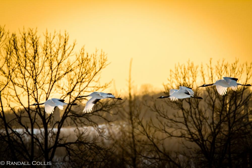 Red-Crested Cranes in Evening Flight - Hokkaido, Japan