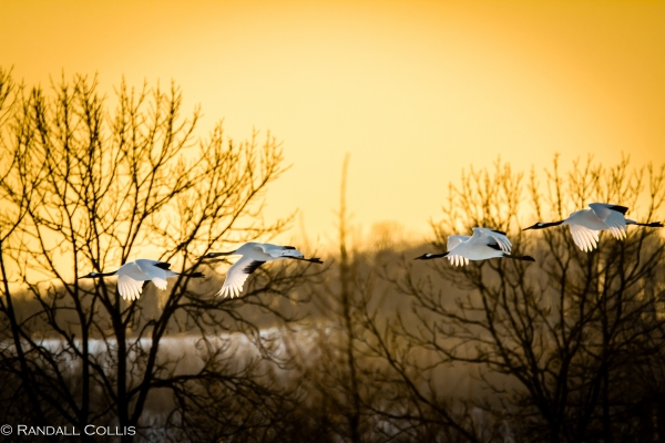 Red-Crested Cranes in Evening Flight - Hokkaido, Japan