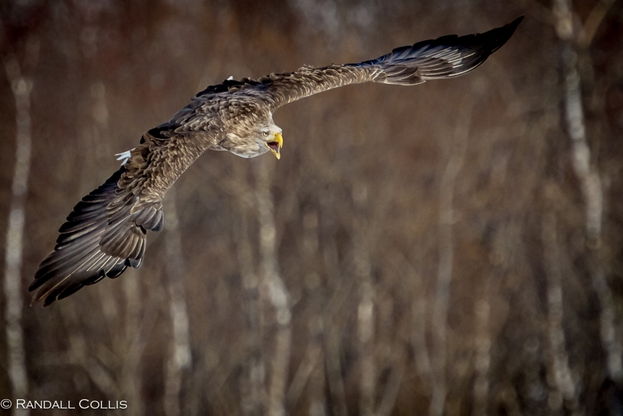 White-Tailed Sea Eagle Hokkaido