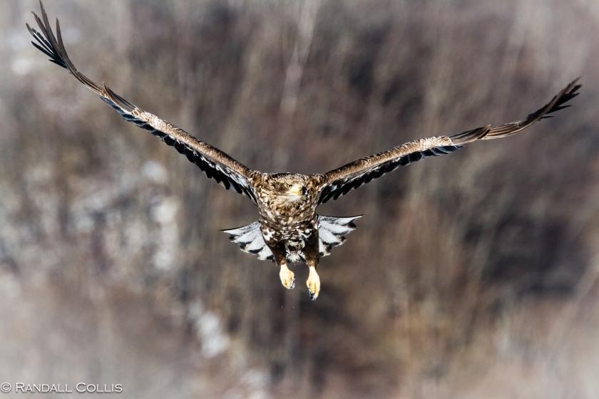 White-Tailed Eagle Hokkaido