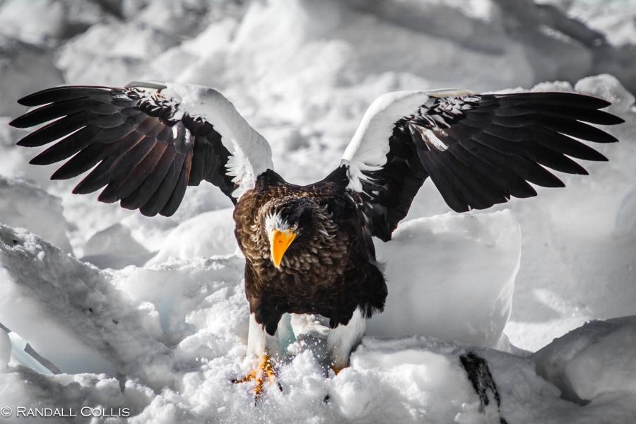 Steller's Sea Eagle Hokkaido