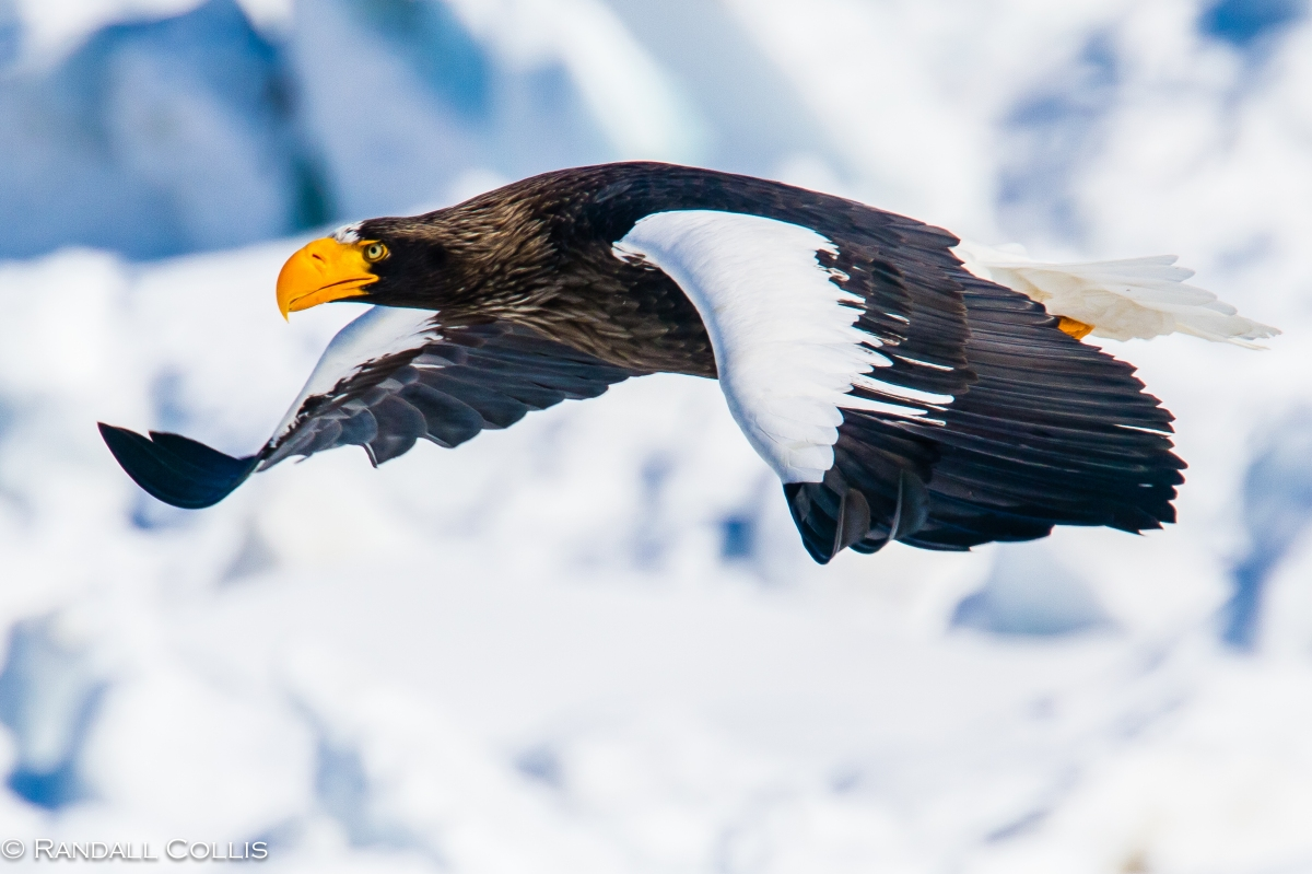 Spirit of Steller's Sea Eagles of Hokkaido