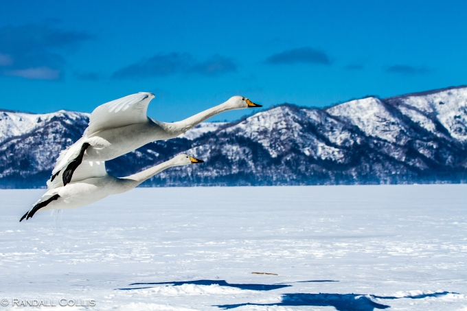 Whooper Swan Hokkaido Lake Mashuko Japan-1