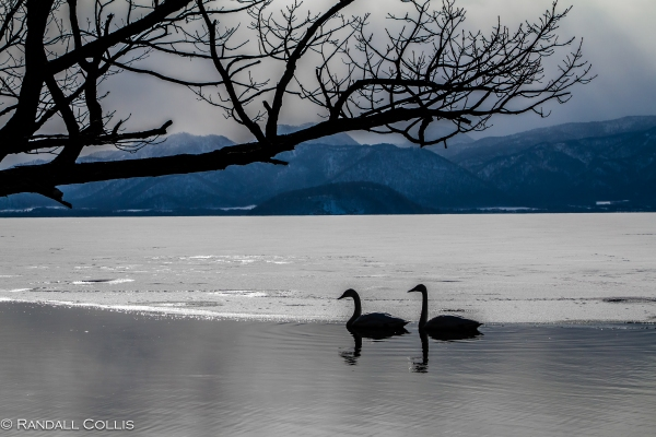 Whooper Swan Hokkaido Lake Mashuko Japan-2