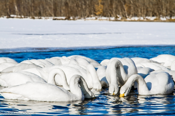Whooper Swan Hokkaido Lake Mashuko Japan-3