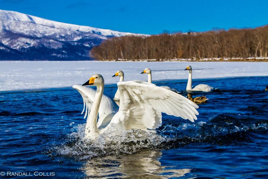 Whooper Swan Hokkaido Lake Mashuko Japan-4