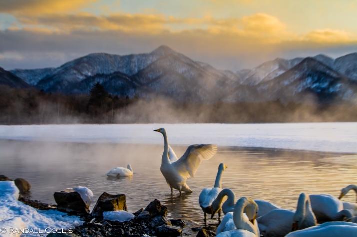 Whooper Swan Hokkaido Lake Mashuko Japan-5