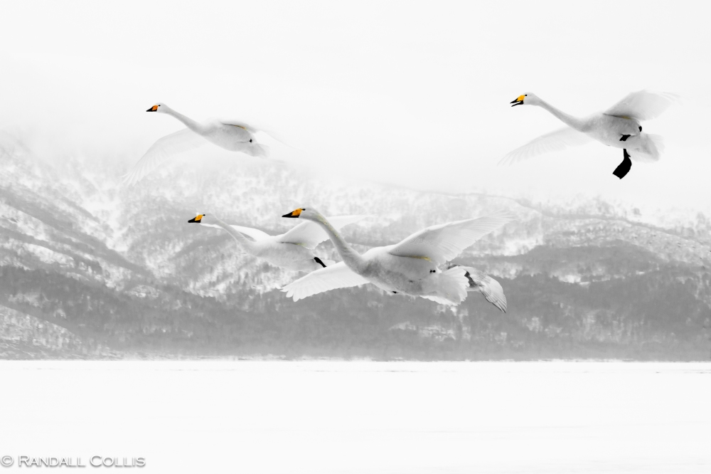 Whooper Swan Hokkaido Lake Mashuko Japan-6