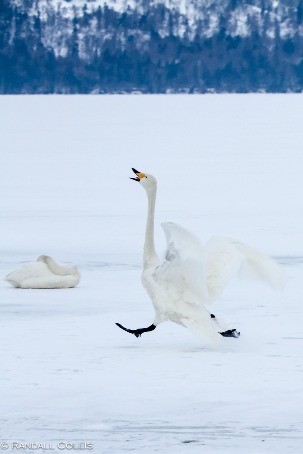 Whooper Swan Hokkaido Lake Mashuko Japan-8