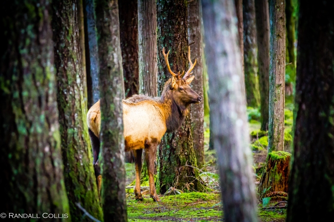 Roosevelt Elk North Fork Skokomish River Olympic National Forest -16