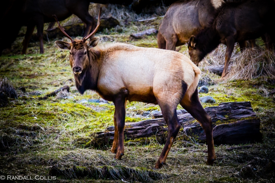 Skokomish Wilderness Olympic National Forest Roosevelt Elk -3
