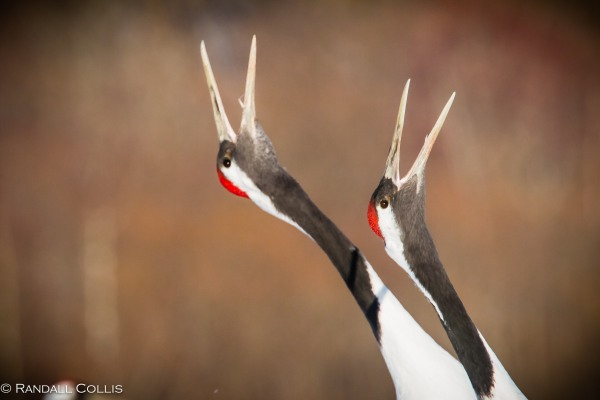 Red-Crowned Crane 丹顶鹤  ~ 仙鹤-13