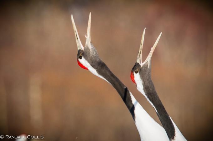 Red-Crowned Crane 丹顶鹤  ~ 仙鹤-13