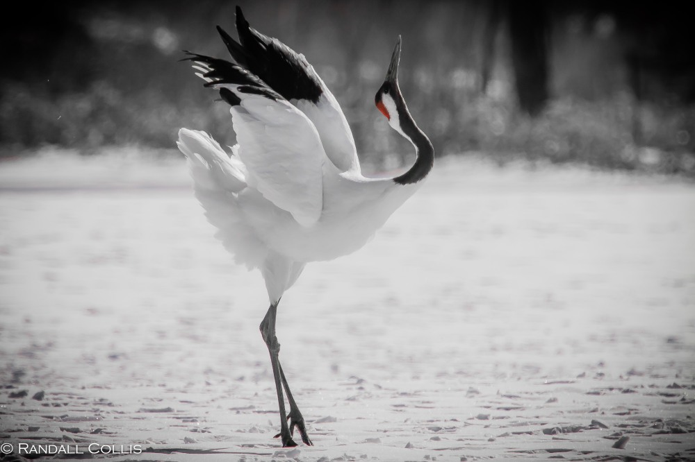 Red-Crowned Crane 丹顶鹤  ~ 仙鹤-15