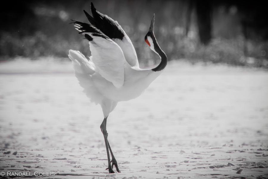 Red-Crowned Crane 丹顶鹤  ~ 仙鹤-15