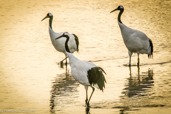 Red-Crowned Crane 丹顶鹤  ~ 仙鹤-17