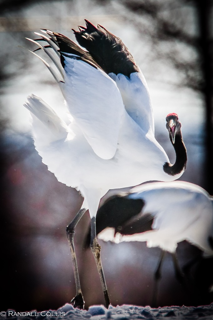 Red-Crowned Crane 丹顶鹤  ~ 仙鹤-21