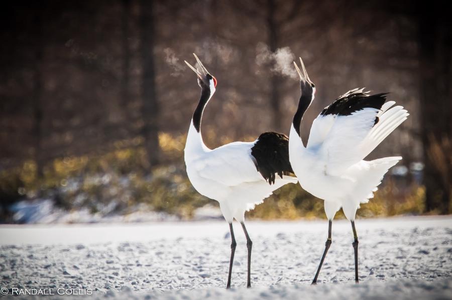 Red-Crowned Crane 丹顶鹤  ~ 仙鹤-3