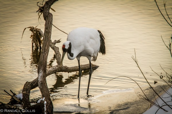 Red-Crowned Crane 丹顶鹤  ~ 仙鹤-6