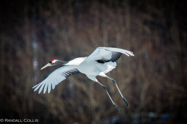 Red-Crowned Crane 丹顶鹤  ~ 仙鹤-7