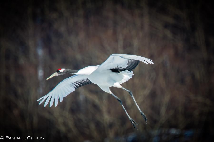 Red-Crowned Crane 丹顶鹤  ~ 仙鹤-7