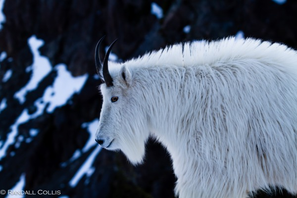 Mt. Ellinor and Skokomish Mountain Goats-10
