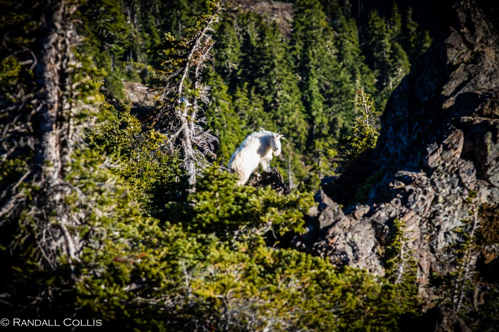 Mt. Ellinor and Skokomish Mountain Goats-11