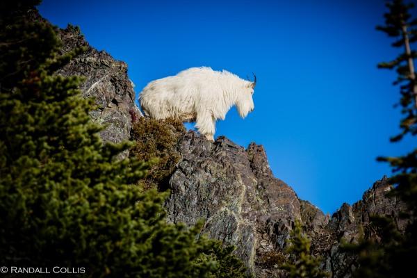 Mt. Ellinor and Skokomish Mountain Goats-13