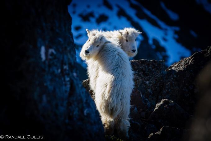Mt. Ellinor and Skokomish Mountain Goats-14