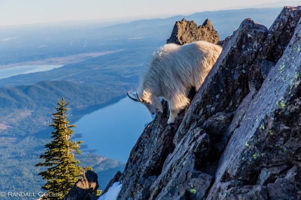 Mt. Ellinor and Skokomish Mountain Goats-15