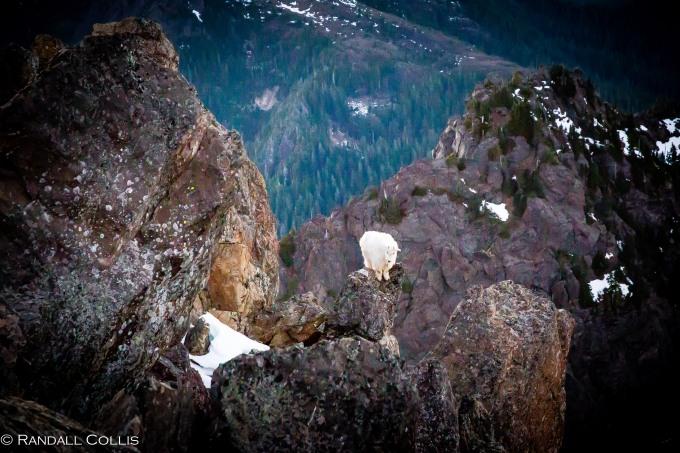 Mt. Ellinor and Skokomish Mountain Goats-16