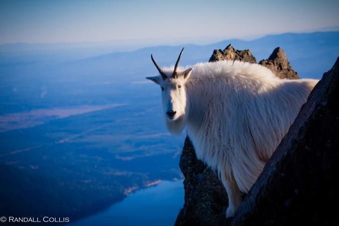 Mt. Ellinor and Skokomish Mountain Goats-18