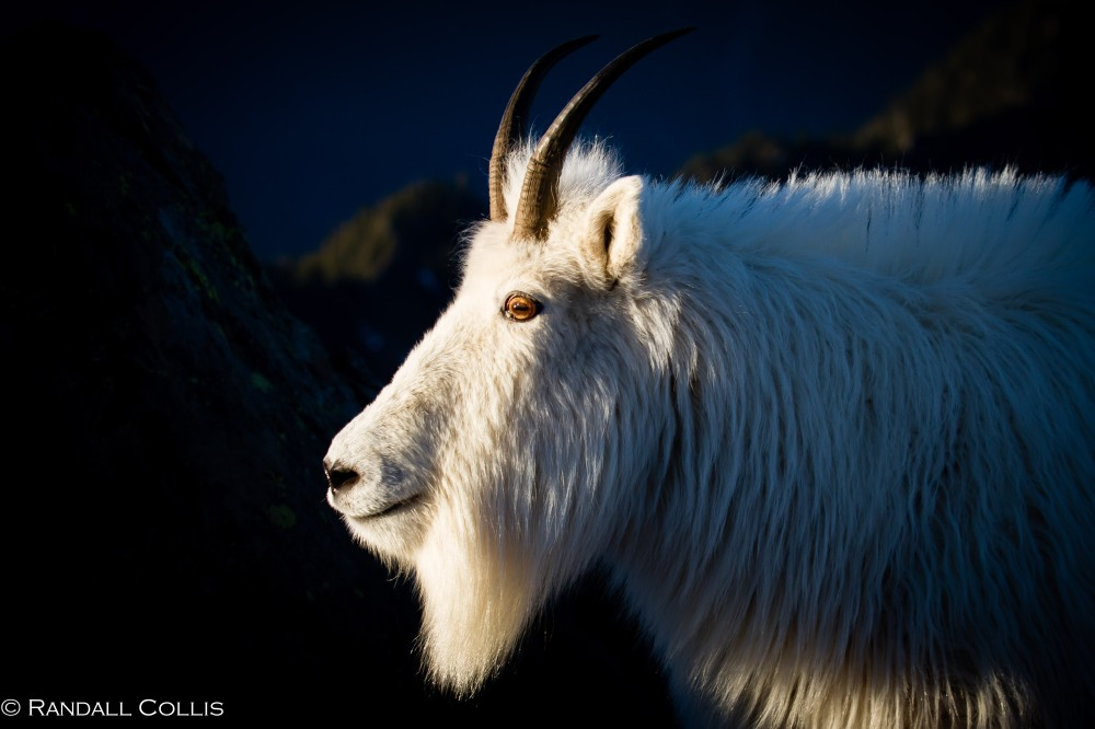 Mt. Ellinor and Skokomish Mountain Goats-20
