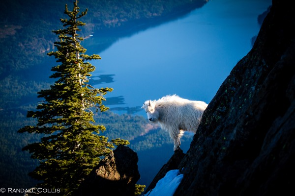 Mt. Ellinor and Skokomish Mountain Goats-5