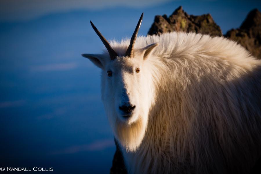 Mt. Ellinor and Skokomish Mountain Goats-6