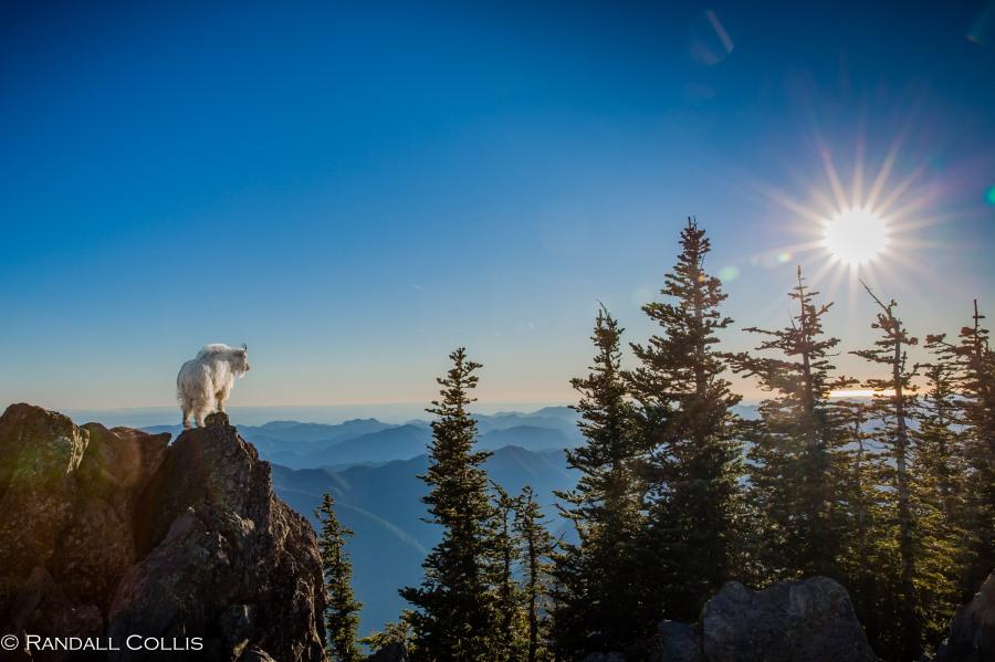 Mt. Ellinor and Skokomish Mountain Goats-7