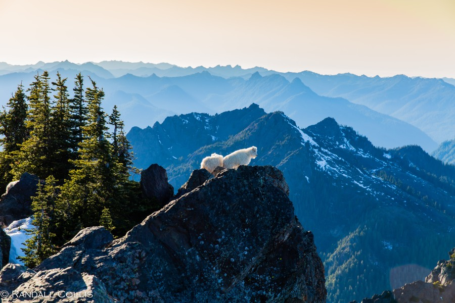 Mt. Ellinor and Skokomish Mountain Goats-9