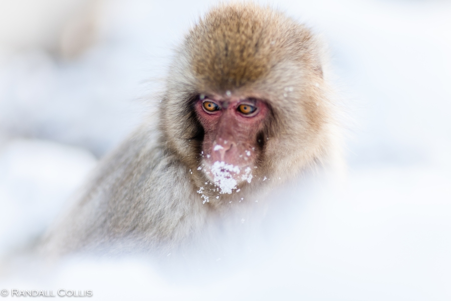 Japanese Macaque Snow Monkey - Perception of Time-1
