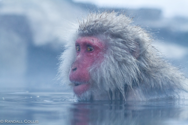 Japanese Macaque Snow Monkey - Perception of Time-10