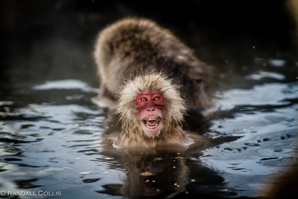 Japanese Macaque Snow Monkey - Perception of Time-11