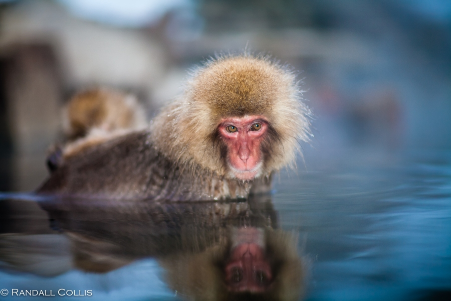 Japanese Macaque Snow Monkey - Perception of Time-13