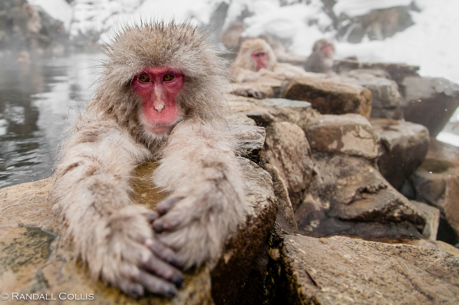 Japanese Macaque Snow Monkey - Perception of Time-14